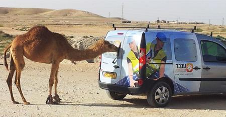גם הגמלים ברביבים בוחרים בענבר אנרגיה סולרית